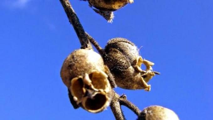 Snapdragon, Bunga Berbentuk Tengkorak Manusia