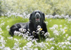 Labrador Retriever in Grass