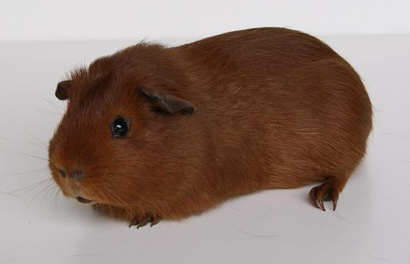 Glatthaar rot
