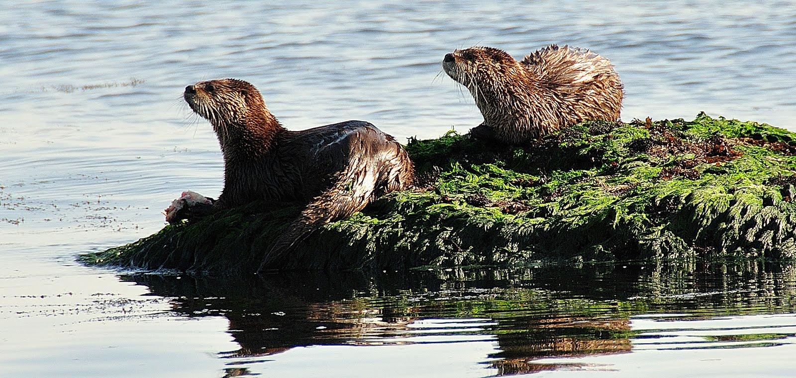 juvenile river otters constellation park river otters den often in ... Otter Sounds