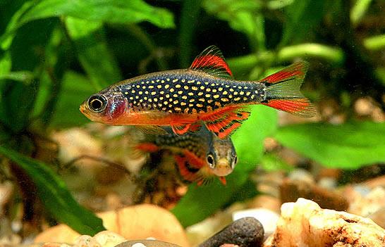 Cyprinidae: Rasbora Elegans