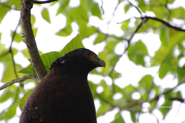 雞南山的阿鷲,大冠鷲