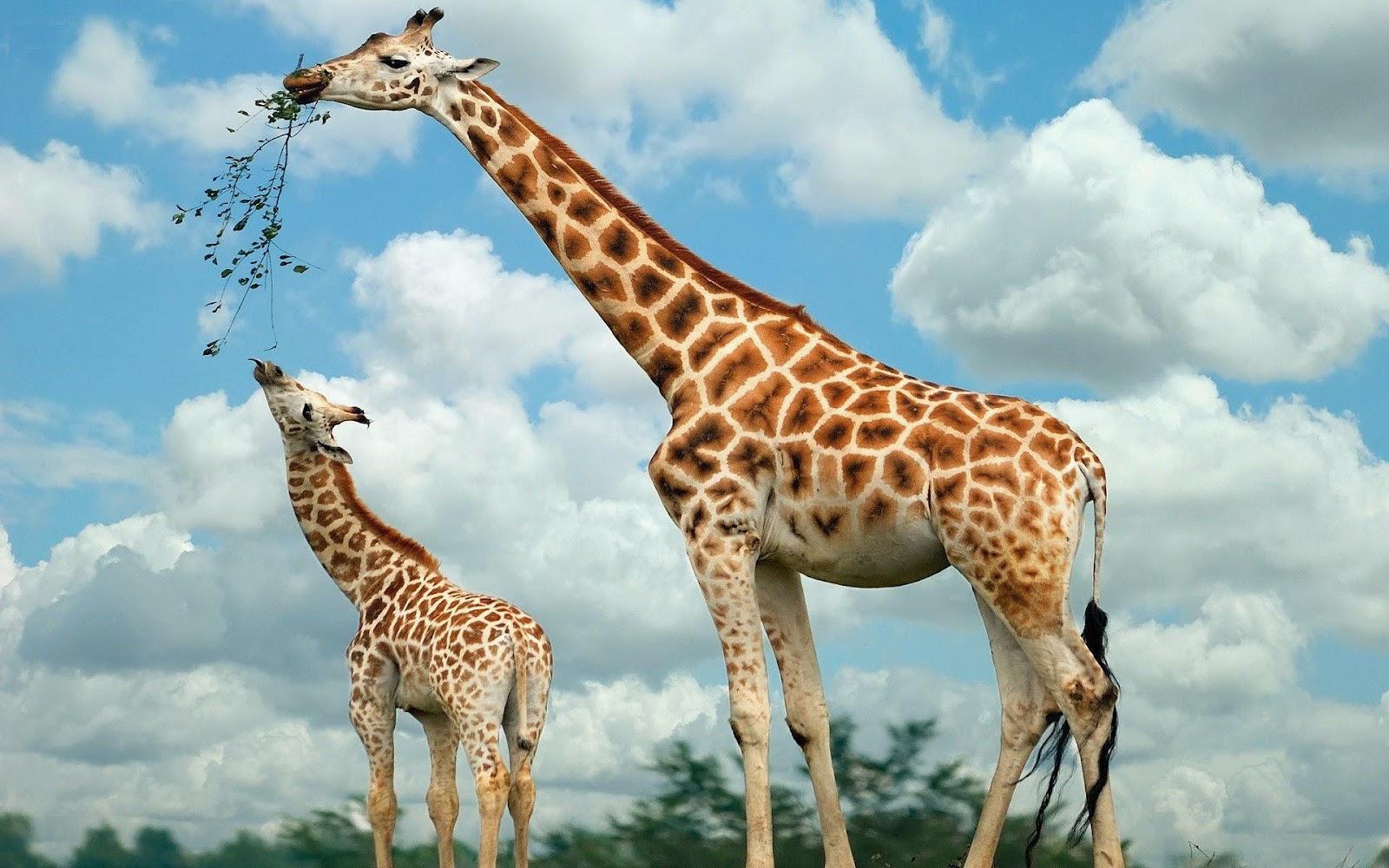 http://4.bp.blogspot.com/-D7gDLxfxp50/UGNT7cEFJBI/AAAAAAAAEQg/zaBdEYiV8q8/s1600/hd-achtergrond-met-twee-giraffes-aan-het-eten-hd-giraffe-wallpaper-foto.jpg