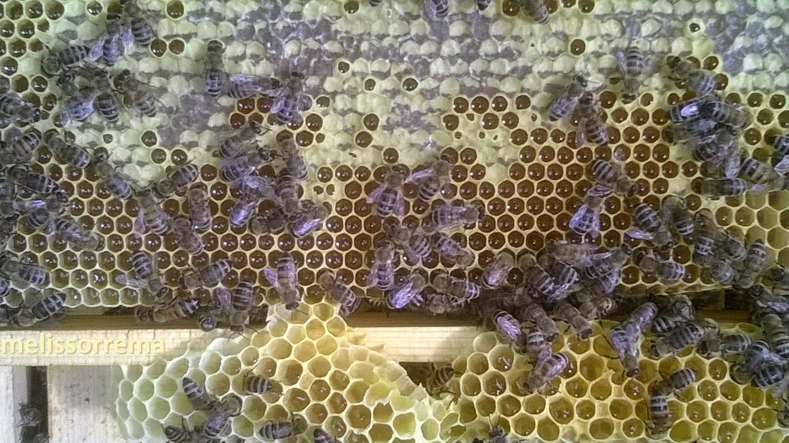 μελι απο παλιούρι   2014