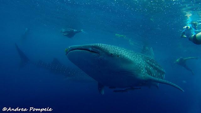 Whale Sharks Mafia Island tanzania