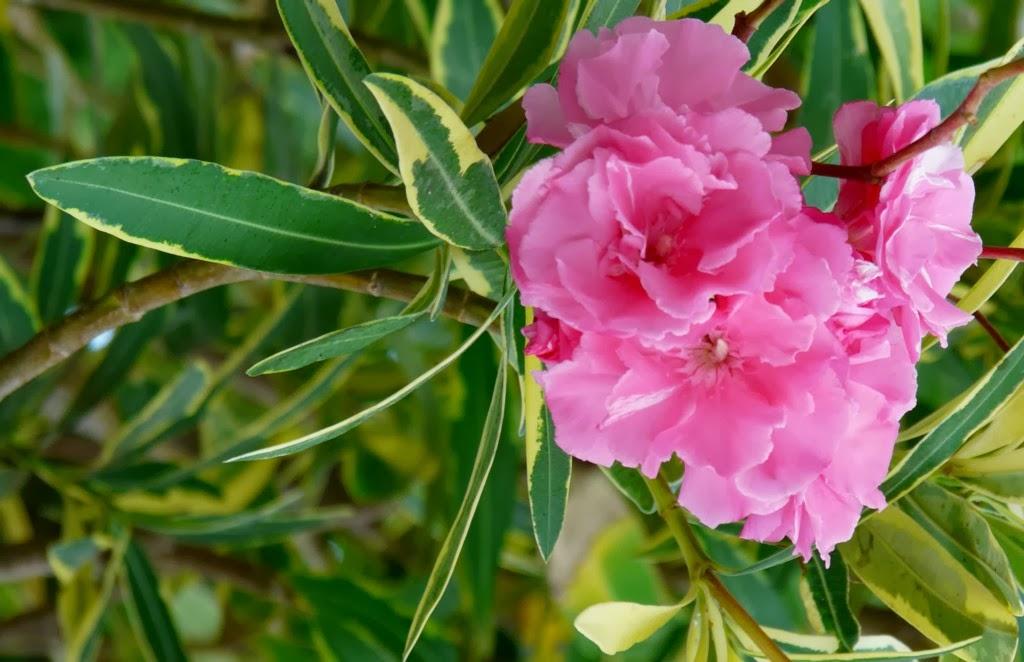 Eph m res la flore de cadix suite et fin - Ou planter un laurier rose ...