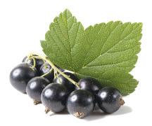 Tratarea gutei cu nectar de coacaze negre