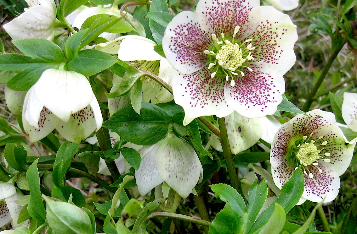 Negative feedback on hellebore is most likely the result of its incorrect application