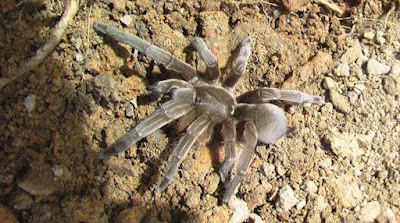 25.000 Tarantula Menyerang Kota di Australia