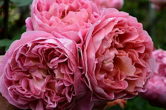 Boscobel rose сорт розы фото