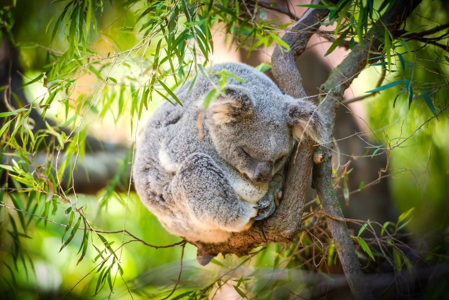 23. Sleeping Koala by Eaton Zhou