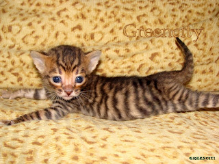 Toyger Wallpaper