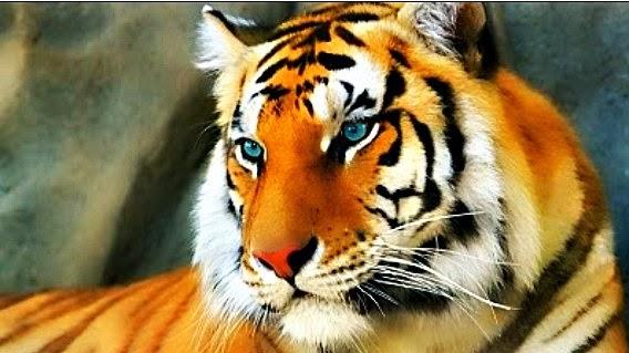 Bienvenidos al nuevo foro de apoyo a Noe #283 / 30.08.15 ~ 05.09.15 - Página 2 Tigre+Mirando