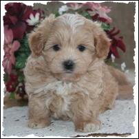 Cute Maltipoo puppy