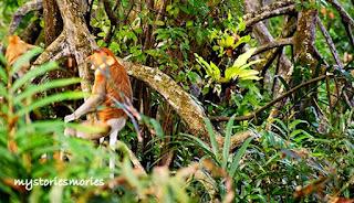 Proboscis Monkey - monyet hidung panjang