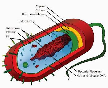 Bakterilerin hücre iç yapısı hakkında bilgi