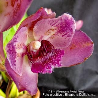 Lycaste tyrianthina ,Maxillaria tyrianthina ,Bifrenaria tyrianthina var. magnicalcarata ,Bifrenaria