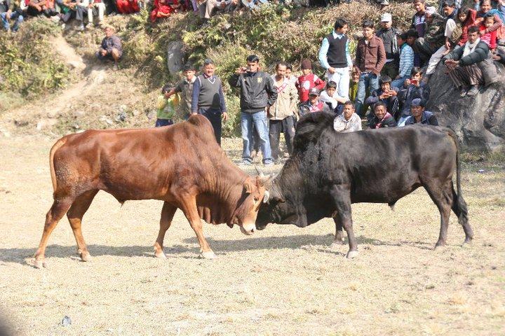 කුලියාපිටි ෆොක්ස්වගන් කාර් වලට ටයර් හදන්නෙ හොරණ ද? Amazing-Bull-Fight-Festival-in-Nepal+%25288%2529