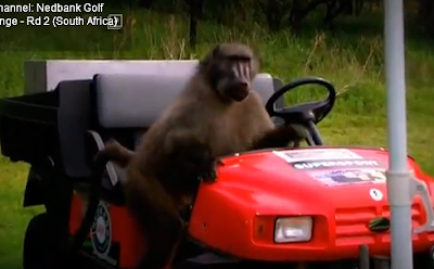 baboon steals food at golf course