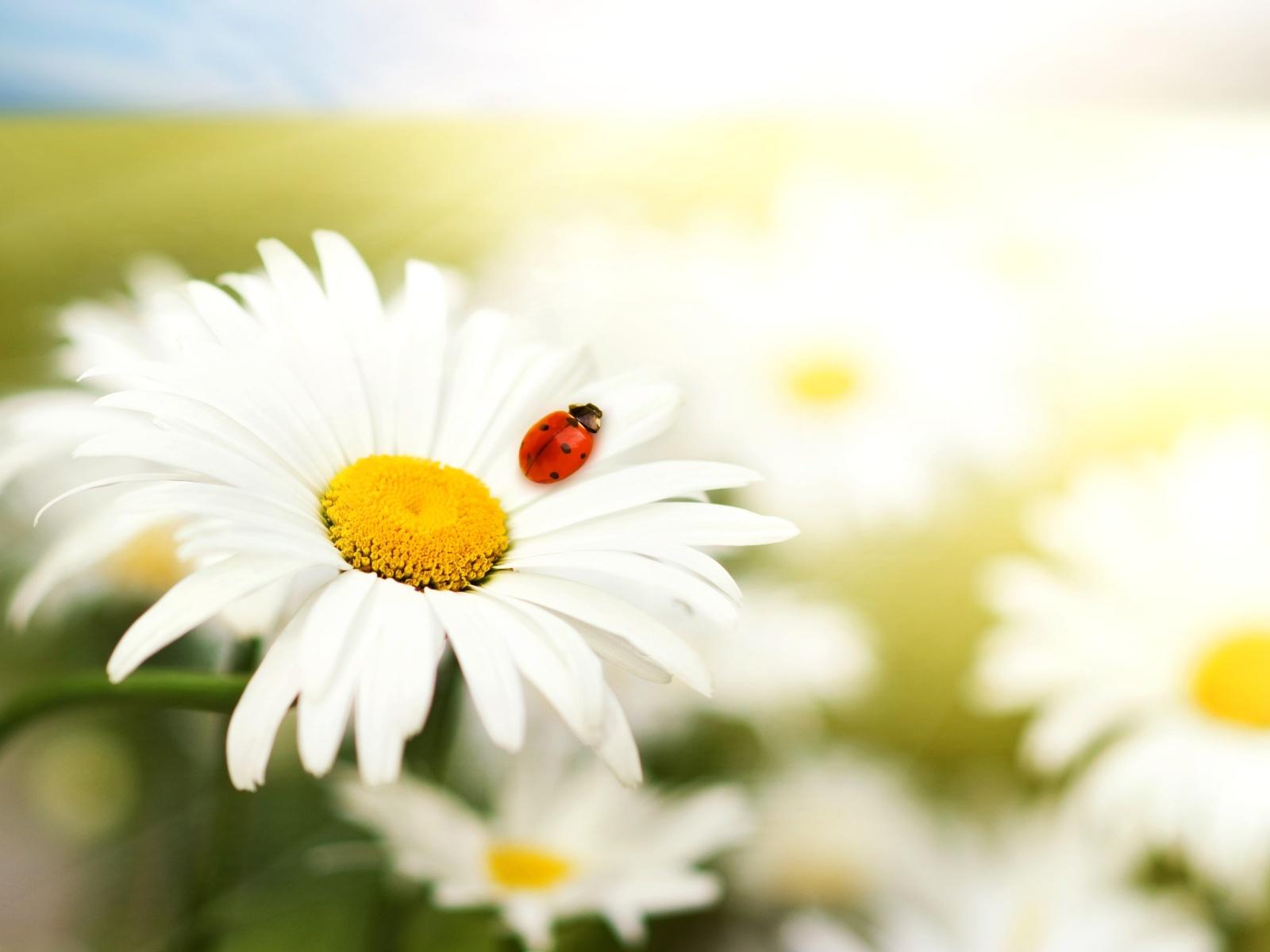 ===Poremas a flor de piel=== Margaritas-1600x1200