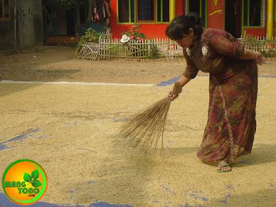 Istri admin sedang menjemur padi sambil nyapu daun padi yang tertinggal