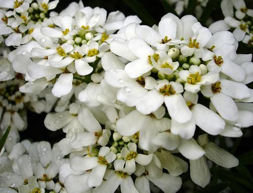 Candytuft é Uma Planta Muito Resistente, Uma Vez Que Consegue ~ Flores Para Jardim Outono Inverno
