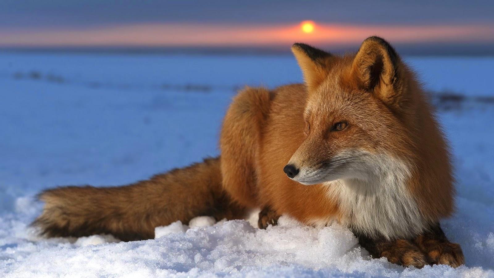 Kmotra liška