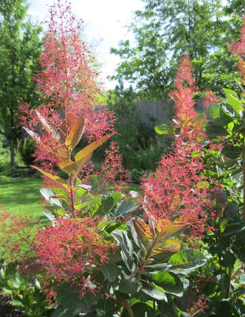Grace smoketree