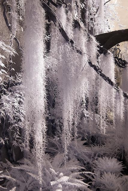 Spanish moss infrared