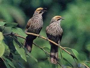 Foto Burung Cucak Rowo Terbaik