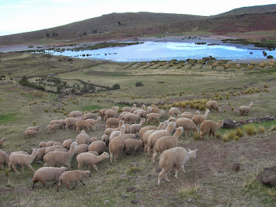 Rebaño de alpacas, llamas, Puno, Perú, La vuelta al mundo de Asun y Ricardo, round the world, mundoporlibre.com