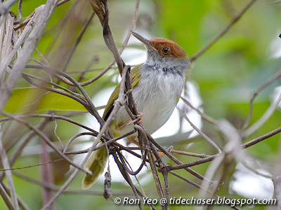 Dark-necked Tailorbird (Orthotomus atrogularis)