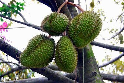 durian fruit in spanish is a plum a fruit