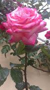 Esta rosa también es del jardicinto