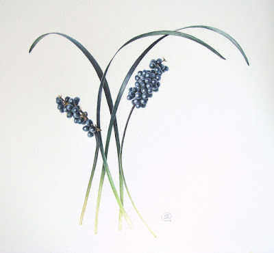 Ophiopogon planiscapus, black grass and fruit watercolour painting by Shevaun Doherty