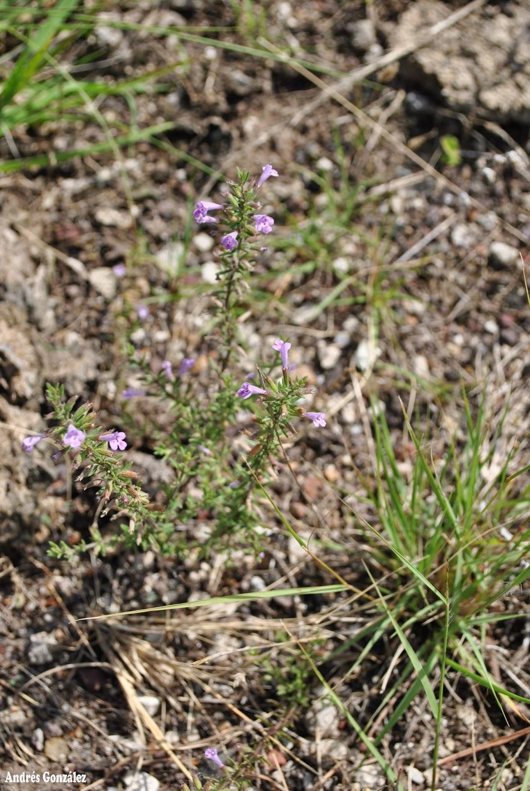 Fotos de flora nativa y adventicias de uruguay hedeoma for Suelo pedregoso