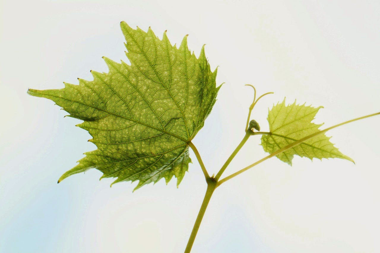 vine leaf from pixabay