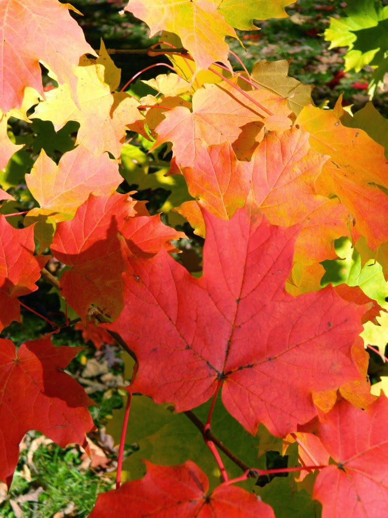 Mount Pleasant Cemetery Sugar maple autumn foliage by garden muses-not another Toronto gardening blog