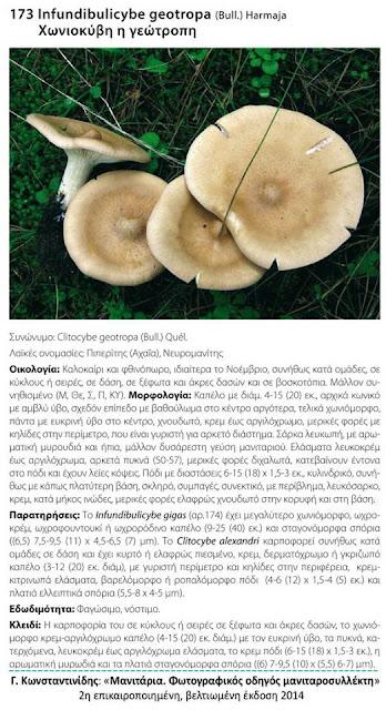 Infundibulicybe geotropa (Bull.) Harmaja