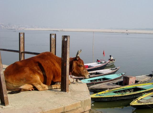 vacche india