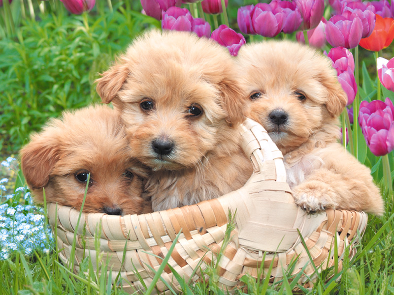 puppy wallpapers. cute puppies wallpapers for