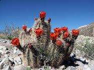 Cactus flor roja