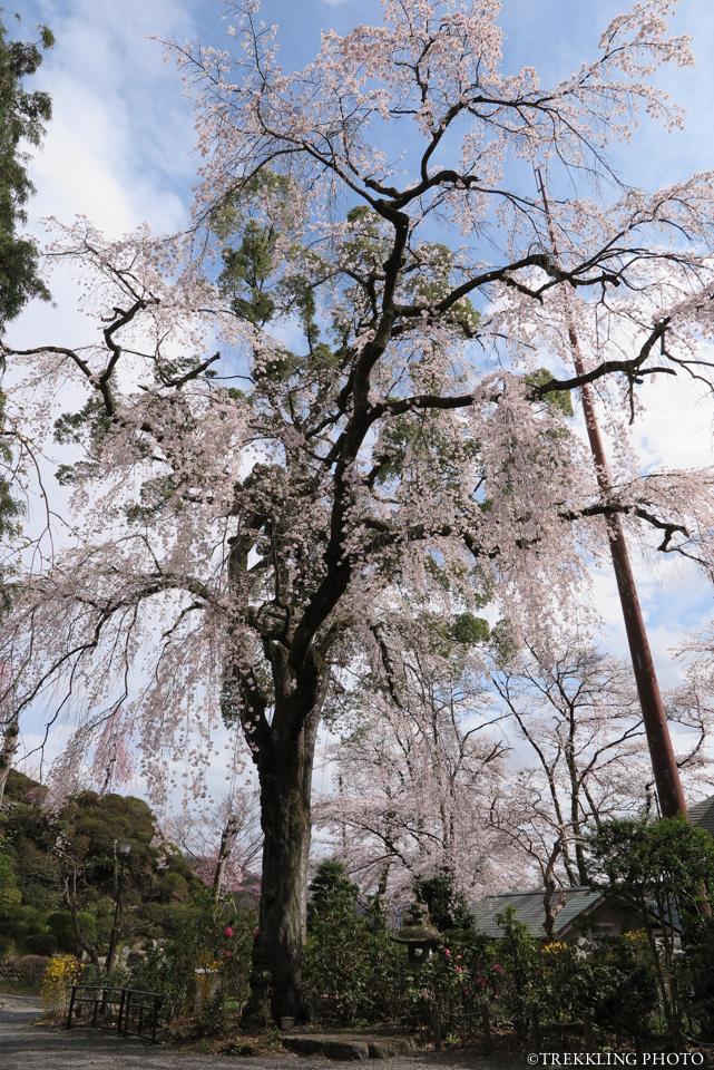 ome-kaizenji-sakura
