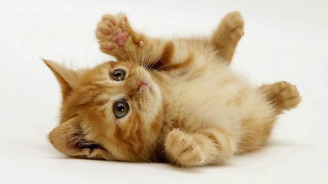 Foto Kucing Lucu Imut dan Menggemaskan 24