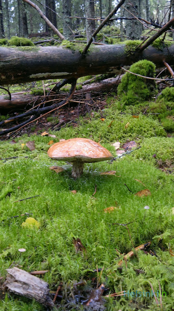mushroom in the Finnish forest