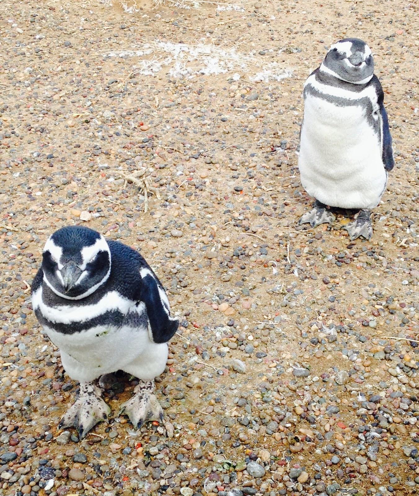 magallenic penguins punto tombo patagonia argentina