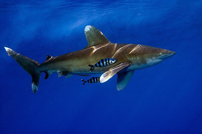 This is an oceanic whitetip shark.  In other words, swim for your life.  Fortunately, they are usually out in the open sea rather than near the coast, and so you're not likely to see them.  Yeah, environmentalists, we need to know these things.