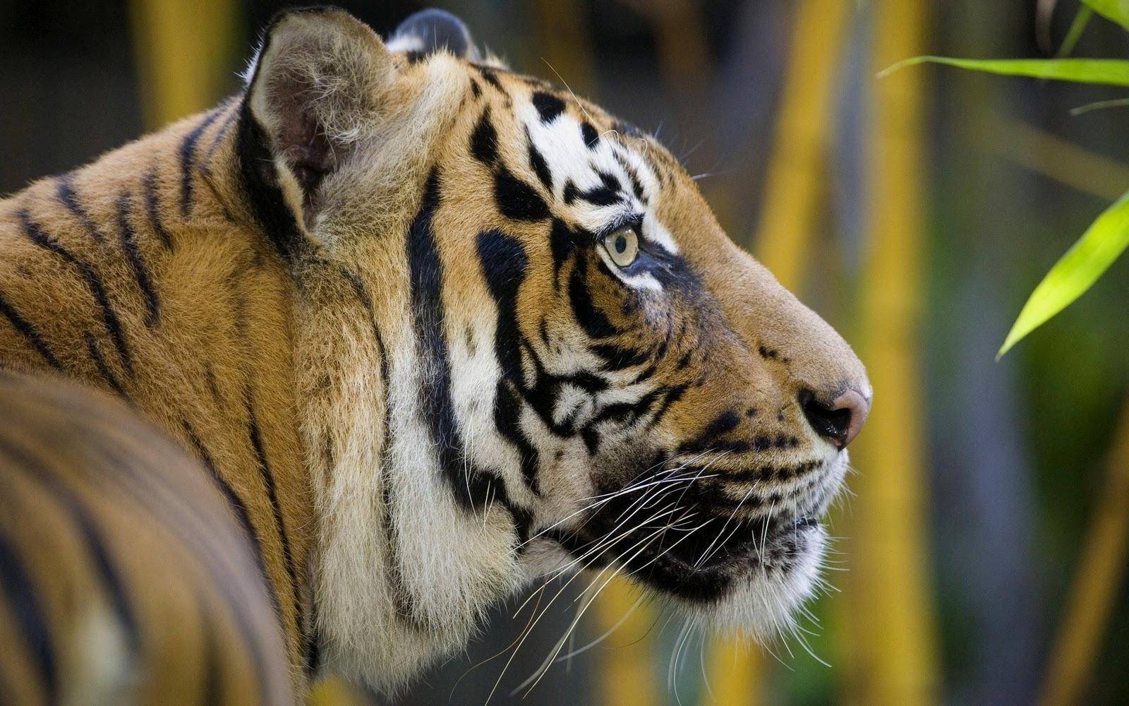 foto hewan - download gambar macan