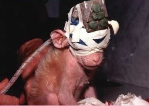 داستان زندگی بریچس میمون آزمایشگاهی