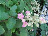 Blackberry (Rubus fruticosus )